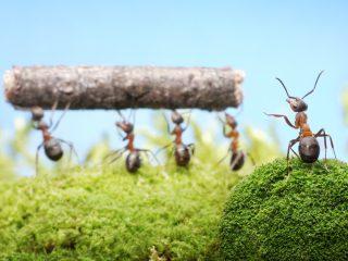¿Sabías qué…las hormigas tratan a sus compañeras heridas y las evacuan si es necesario?